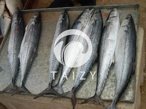 Fish-deboning-machine3