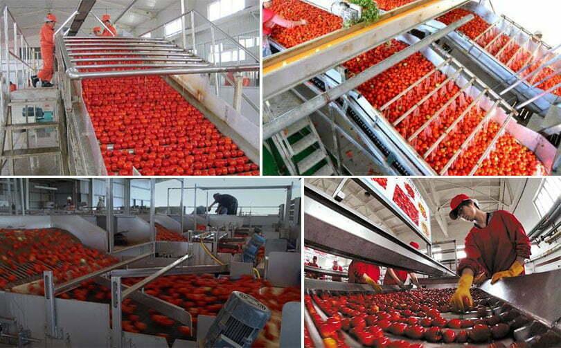 tomato picking machine